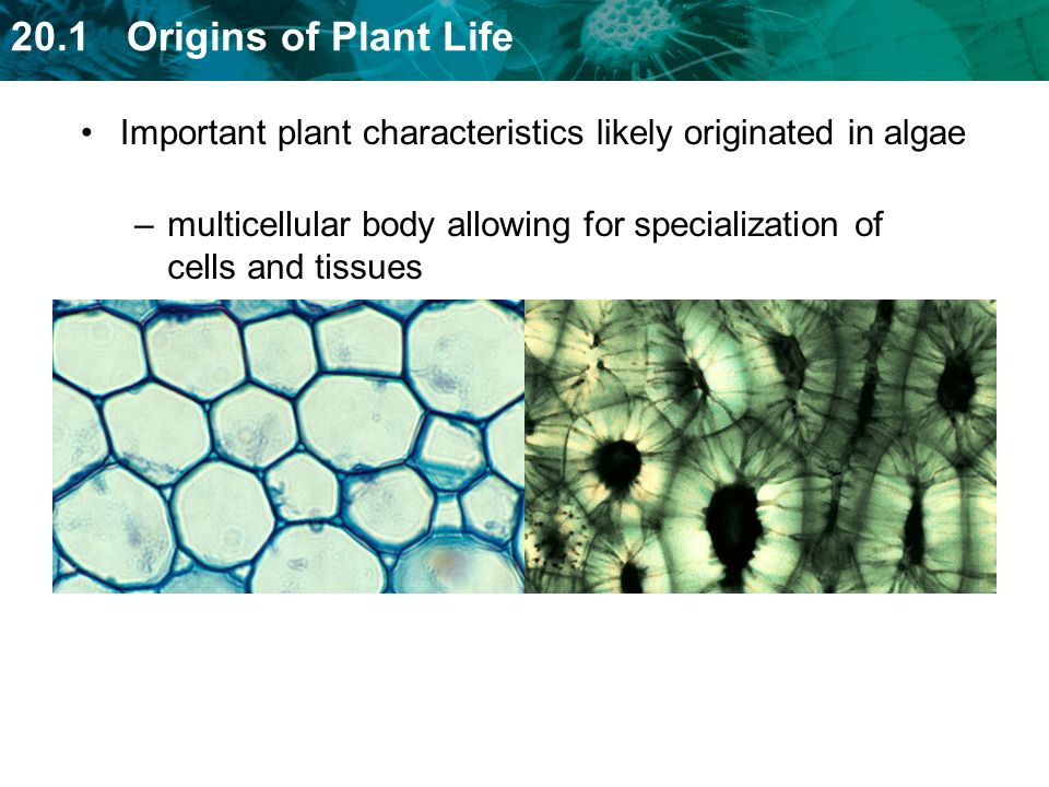 Important plant characteristics likely originated in algae