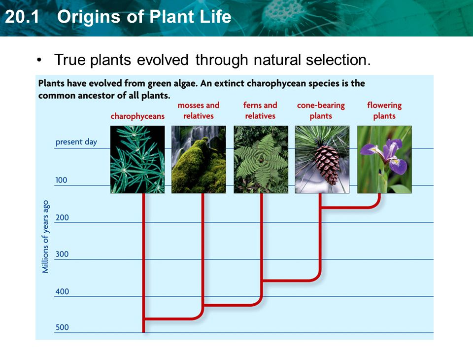 True plants evolved through natural selection.