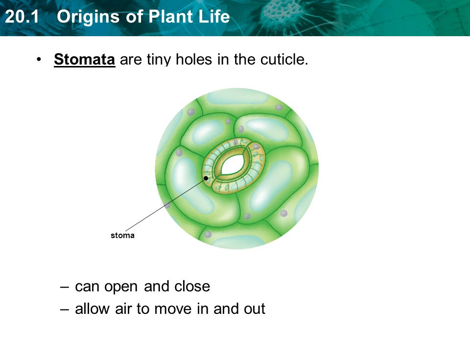 Stomata are tiny holes in the cuticle.