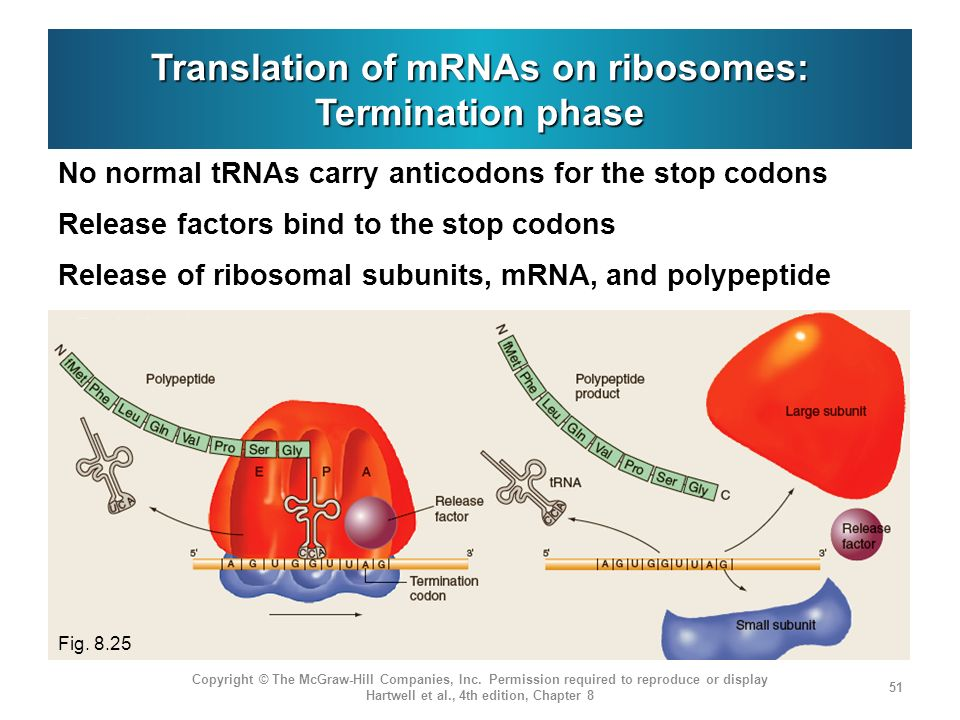 Translation+of+mRNAs+on+ribosomes%3A+Termination+phase genetics from genes to genomes ppt download