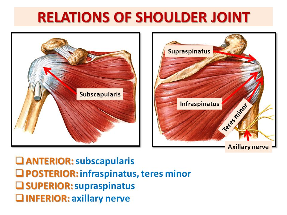 ANATOMY OF THE SHOULDER REGION - ppt download