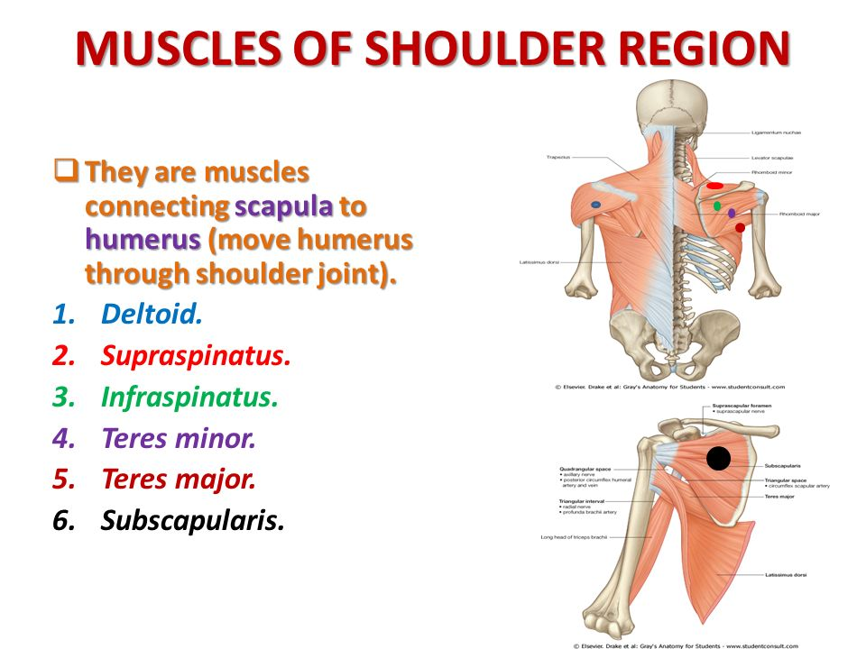 Anatomy Of The Shoulder Region Ppt Download