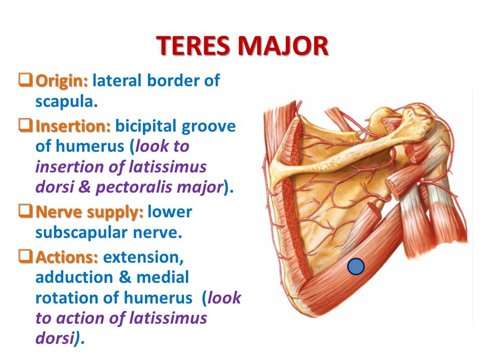 Anatomy Of The Shoulder Region Ppt Download
