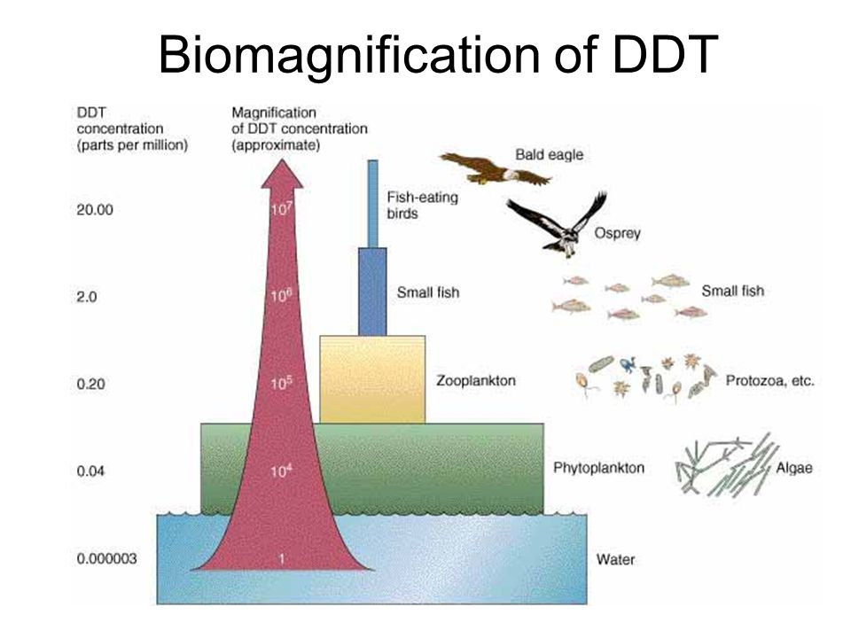 17 biomagnification of ddt
