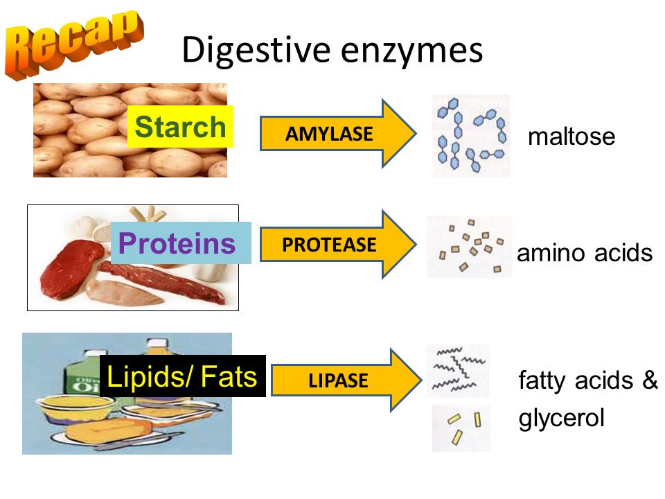Digestive enzymes Recap Starch Proteins Lipids/ Fats maltose