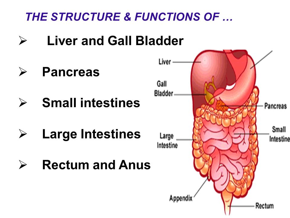 Liver and Gall Bladder Pancreas Small intestines Large Intestines