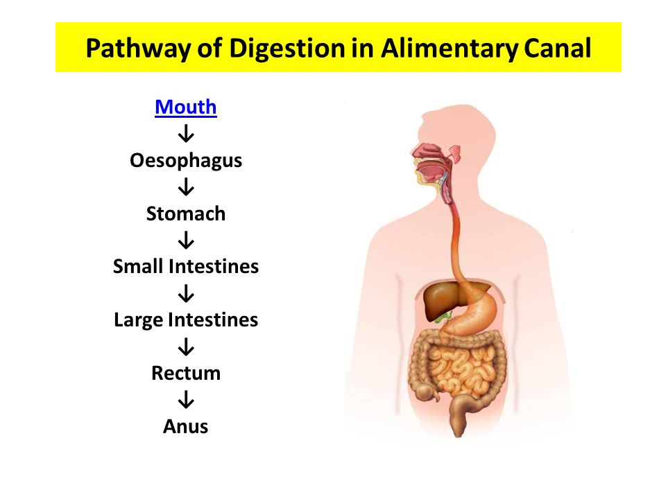 Pathway of Digestion in Alimentary Canal