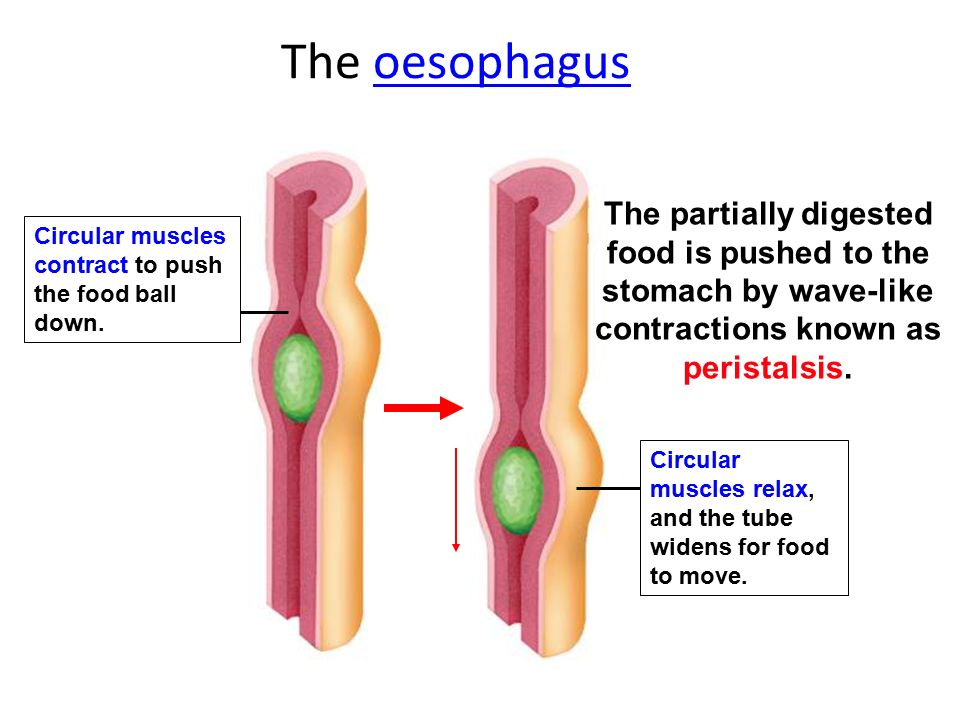 The oesophagus The partially digested food is pushed to the stomach by wave-like contractions known as peristalsis.