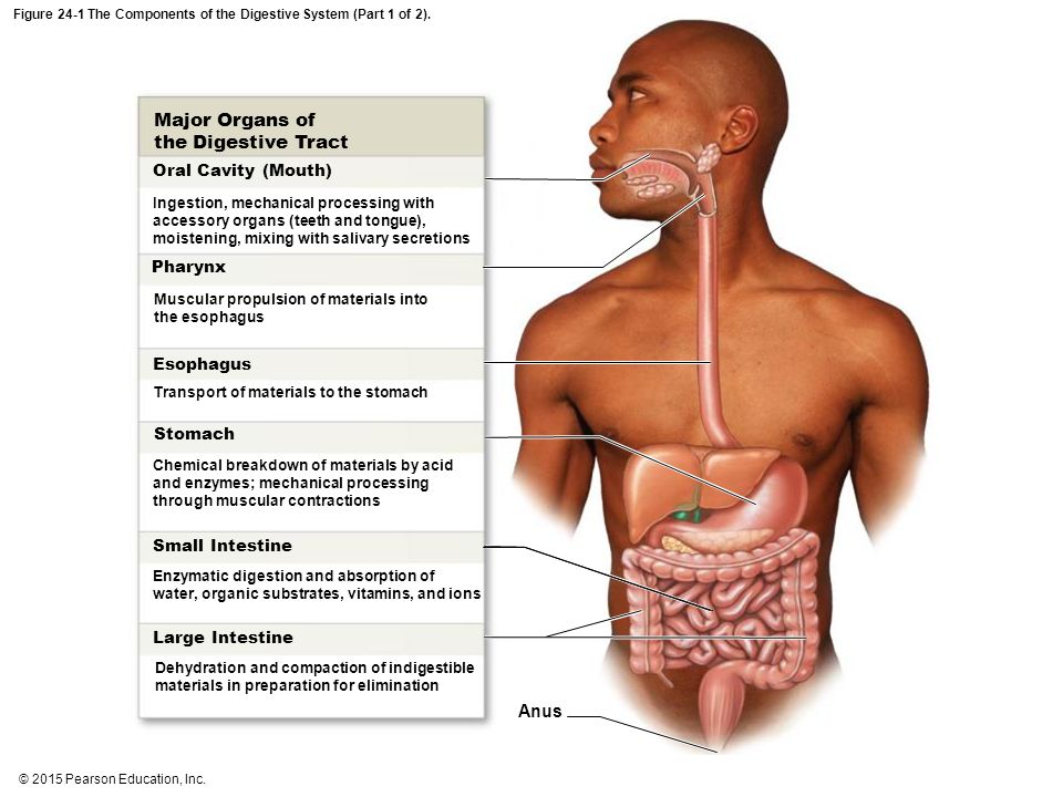 An Introduction To The Digestive System Ppt Download