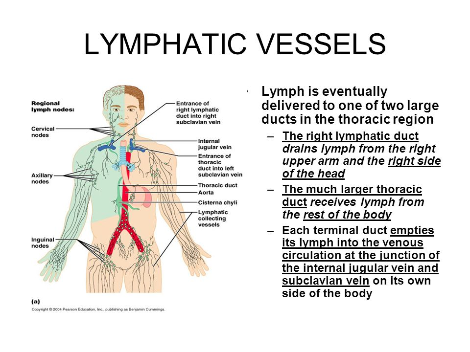 The Lymphatic System Consists Of Two Semi Independent Parts Ppt