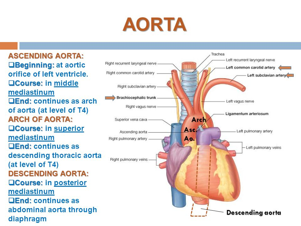 Fantastic Descending Thoracic Aorta Elaboration - Human Anatomy ...