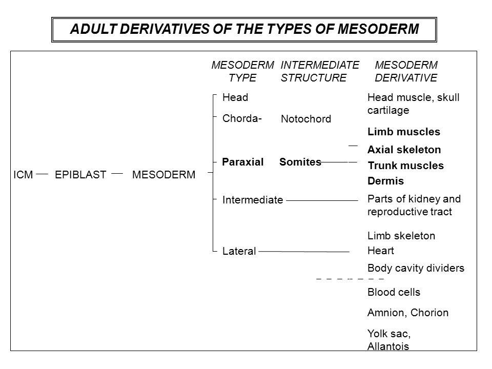 mesoderm derivatives