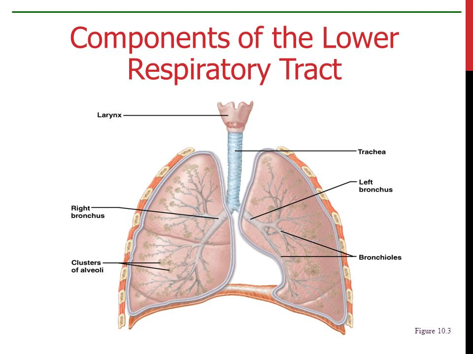 Respiratory System Exchange Of Gases Ppt Download