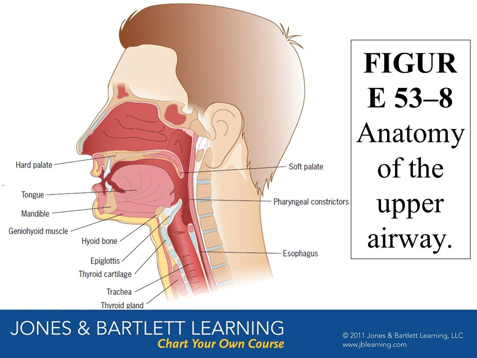 Exelent Anatomy Of The Upper Airway Composition - Anatomy And ...