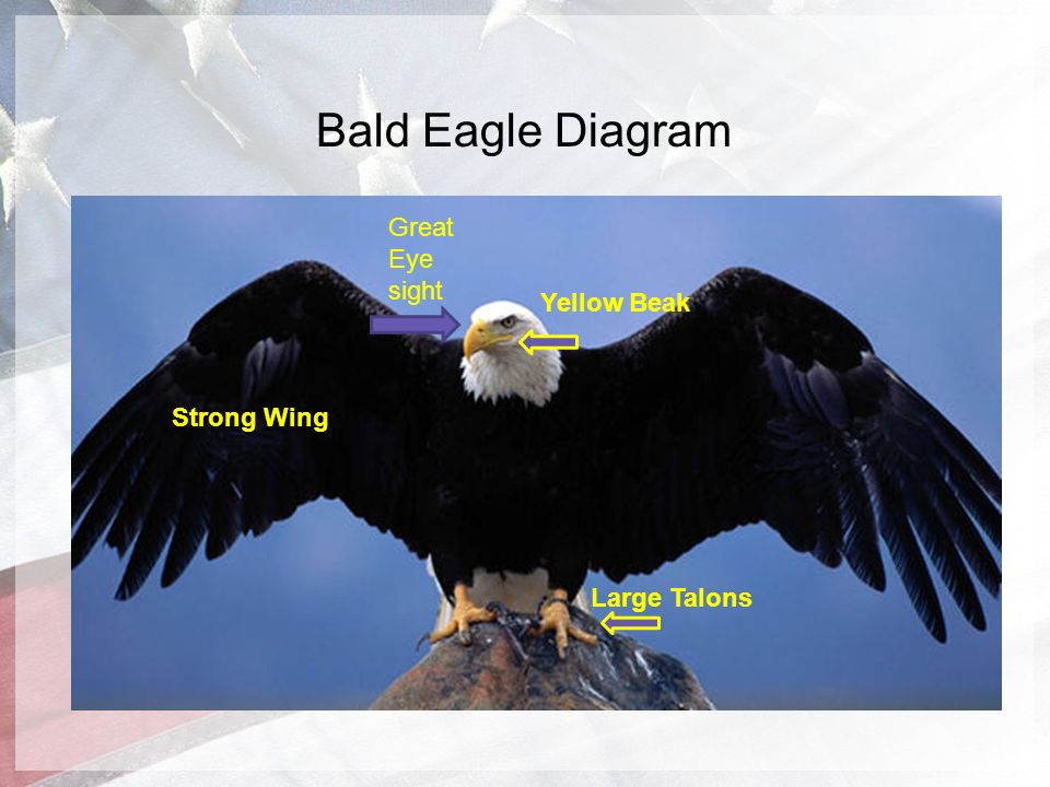 the amazing bald eagle by evan perona ppt video online download rh slideplayer com bald eagle feathers diagram bald eagle food chain diagram