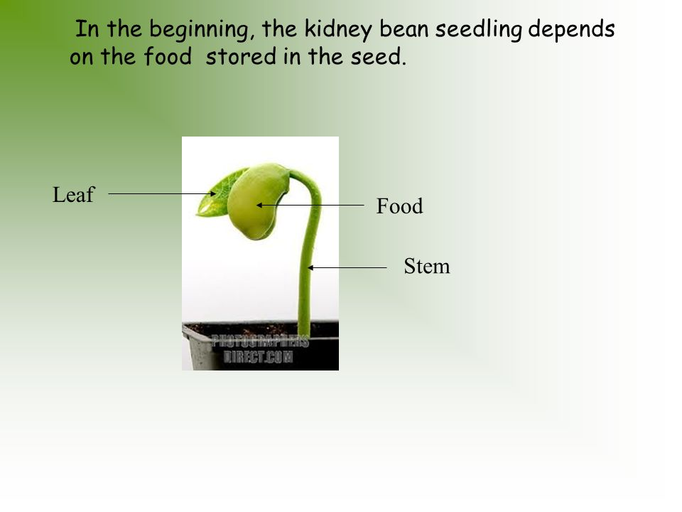 Seed Leaf In Which Food Is Stored