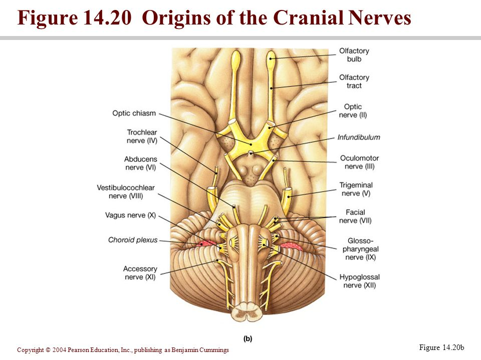 Figure Origins of the Cranial Nerves