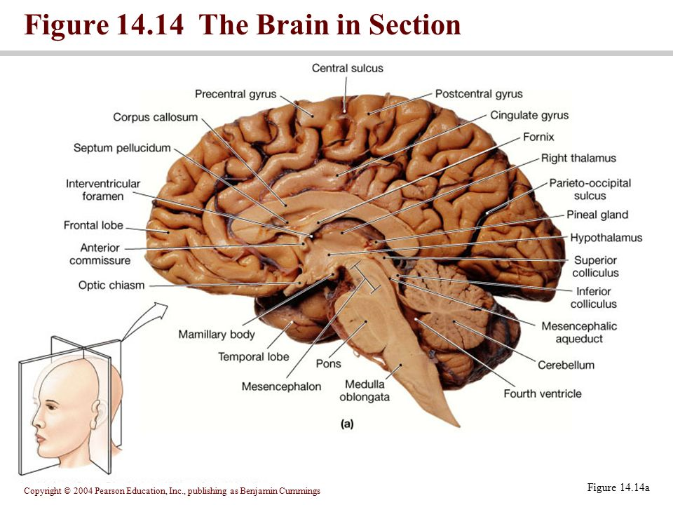 Figure The Brain in Section