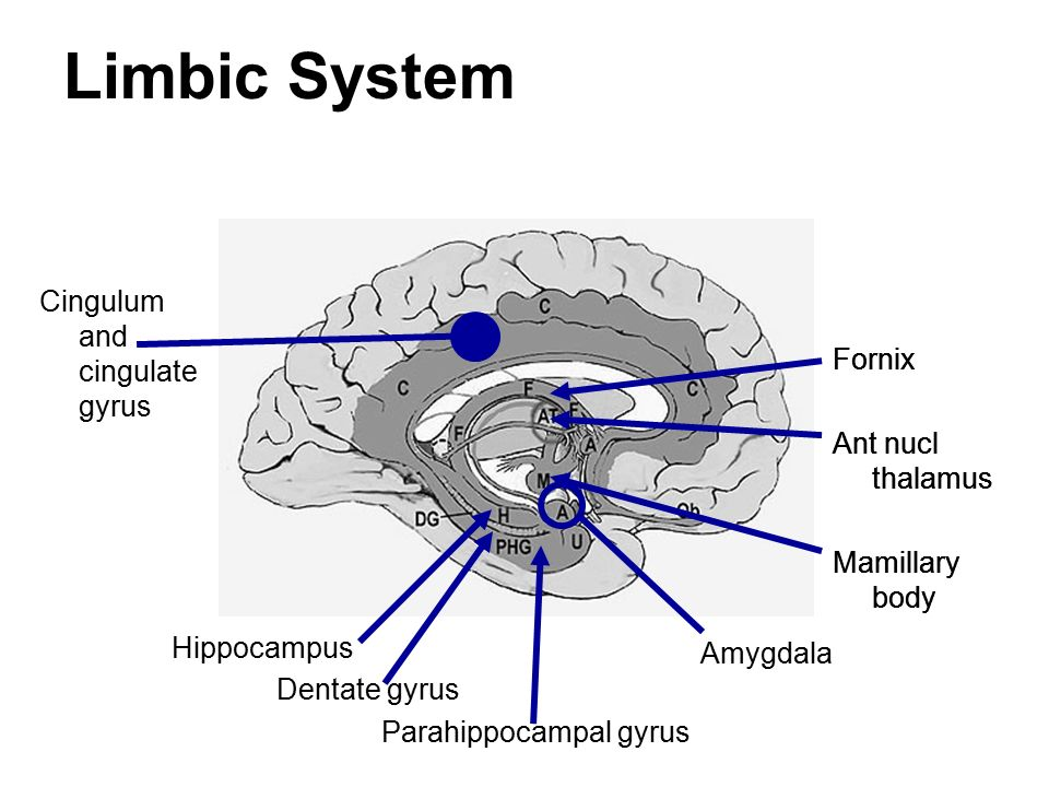 Hypothalamus And Limbic System - ppt video online download