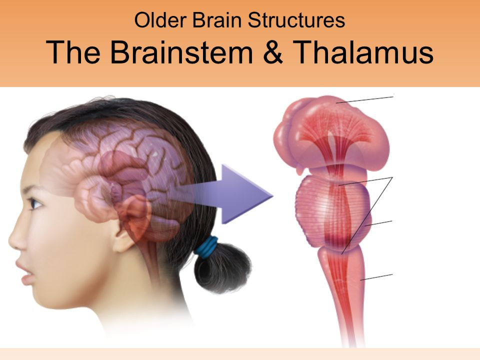 Older Brain Structures Ppt Download