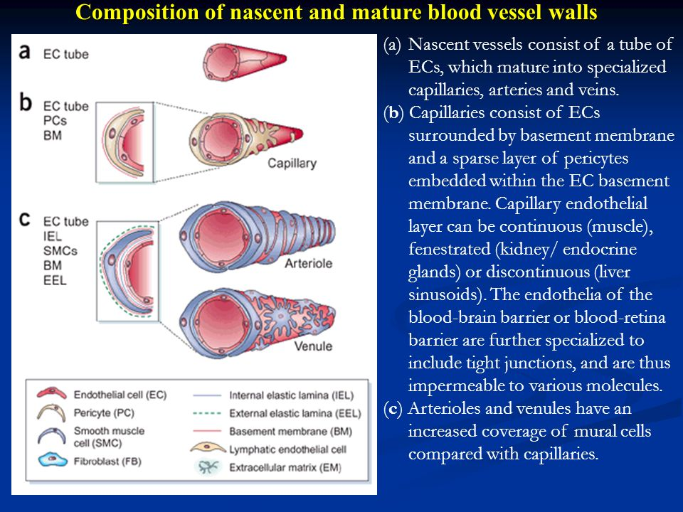 Composition of nascent and mature blood vessel walls