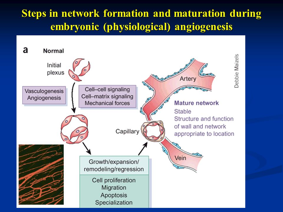 Steps in network formation and maturation during embryonic (physiological) angiogenesis