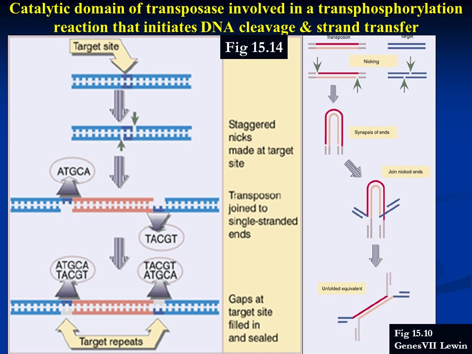 Catalytic domain of transposase involved in a transphosphorylation reaction that initiates DNA cleavage & strand transfer