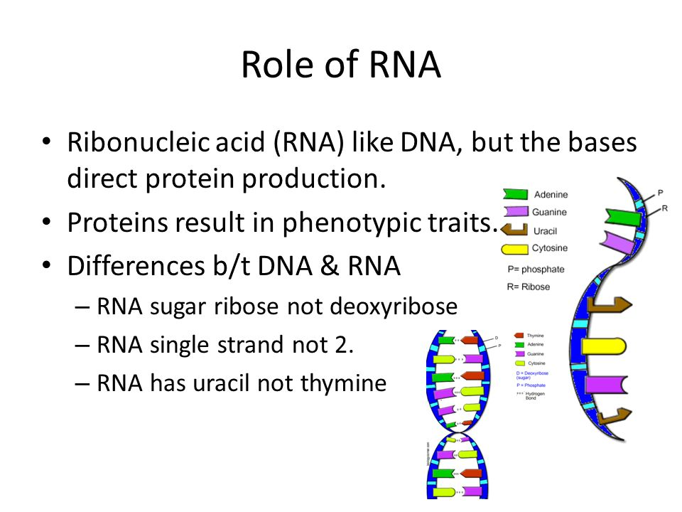 Role of RNA Ribonucleic acid (RNA) like DNA, but the bases direct protein production. Proteins result in phenotypic traits.