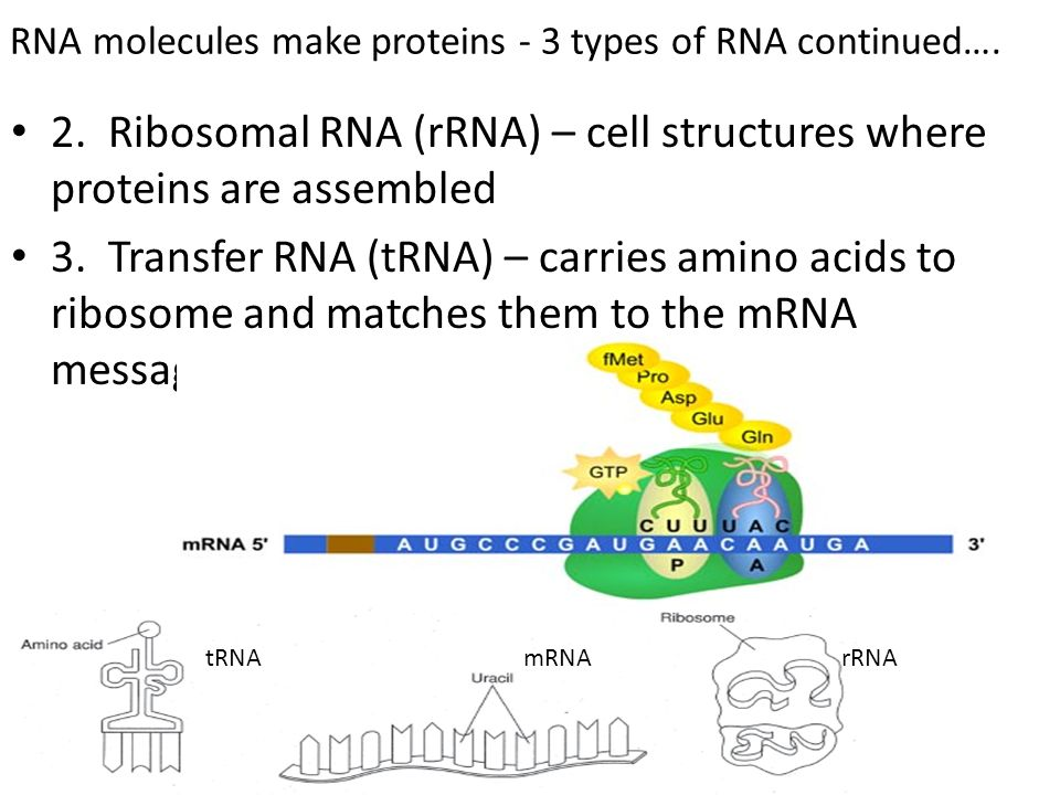 RNA molecules make proteins - 3 types of RNA continued….