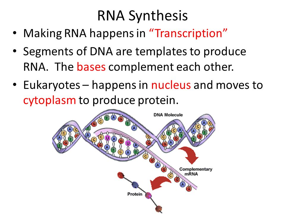 RNA Synthesis Making RNA happens in Transcription