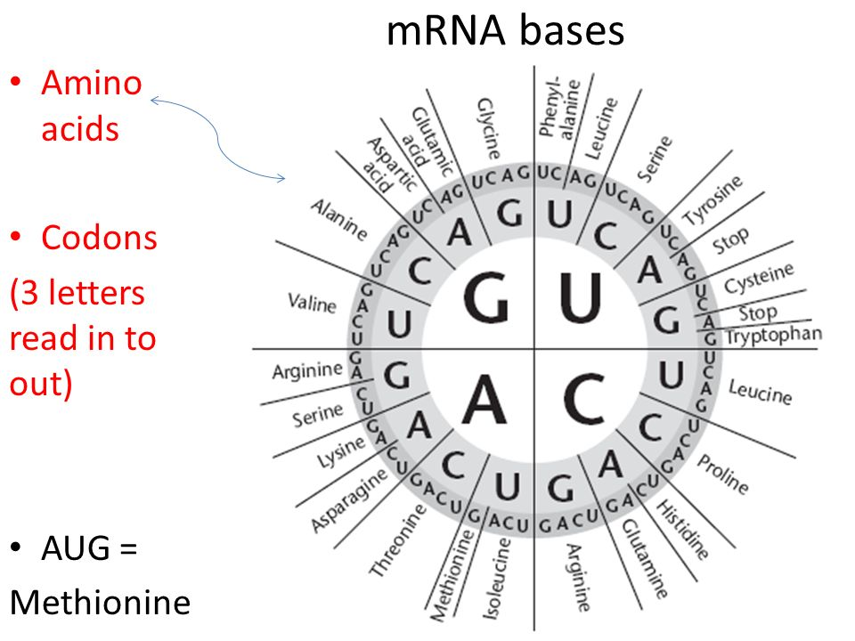 mRNA bases Amino acids Codons (3 letters read in to out) AUG =