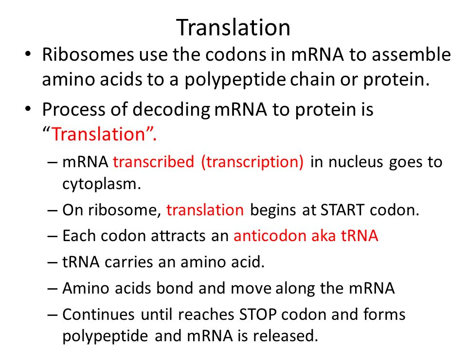 Translation Ribosomes use the codons in mRNA to assemble amino acids to a polypeptide chain or protein.