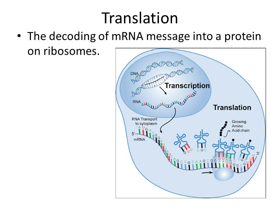 Translation The decoding of mRNA message into a protein on ribosomes.
