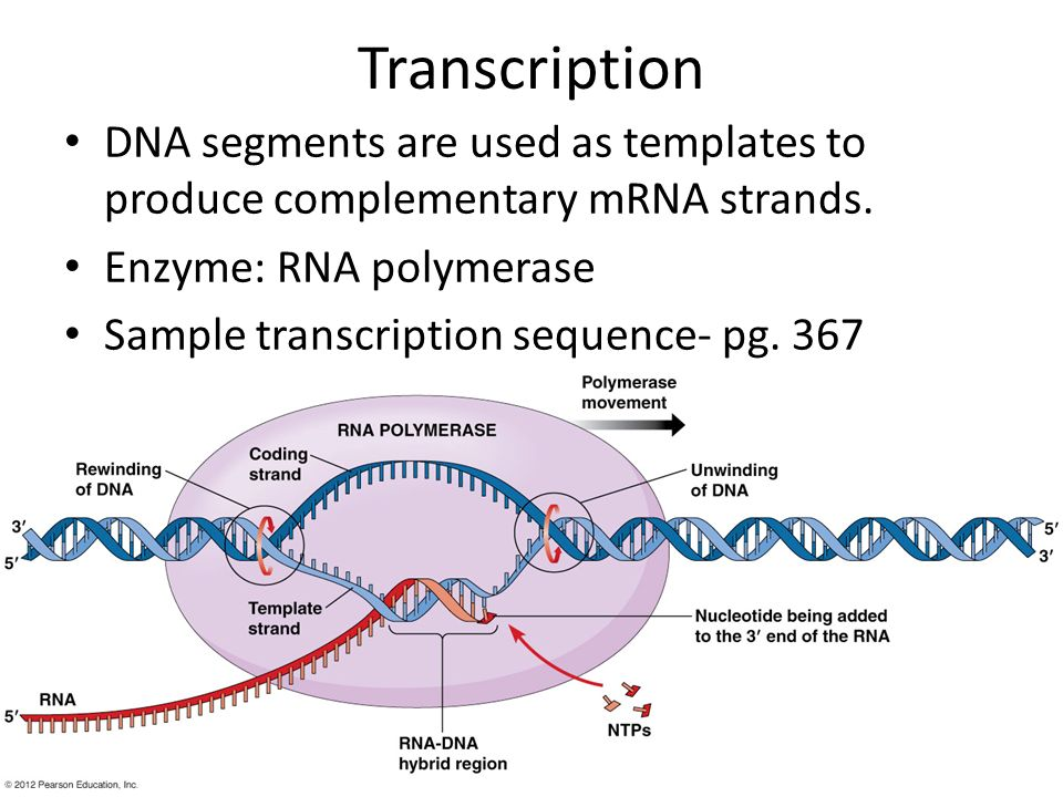 Transcription DNA segments are used as templates to produce complementary mRNA strands. Enzyme: RNA polymerase.