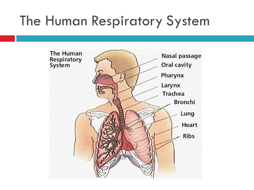 i cant stop coughing a case study on the respiratory system answers Chapter 28 nursing management: lower respiratory problems 575 respiratory system agents1 tuberculosis, although potentially curable and prevent- able, is a worldwide public health threat.