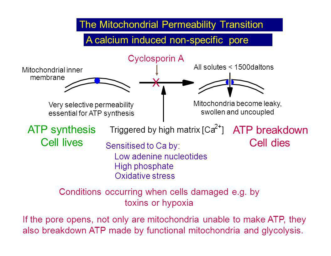 X ATP synthesis Cell lives Cell dies ATP breakdown