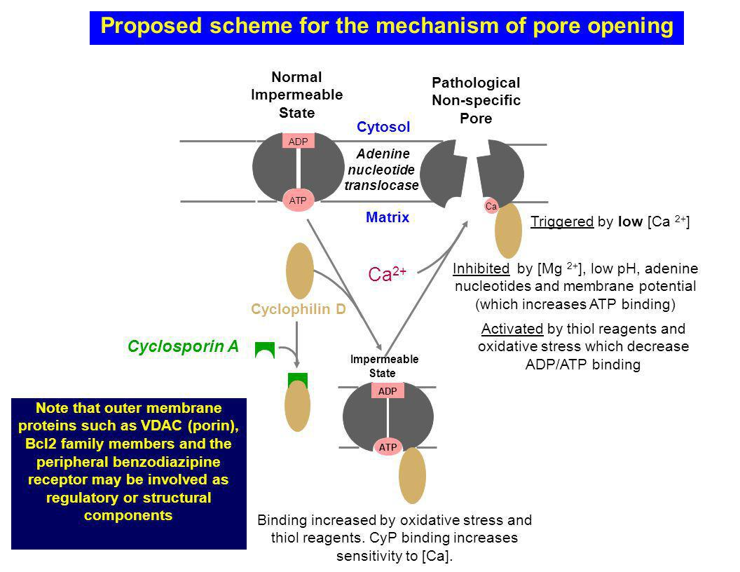 Proposed scheme for the mechanism of pore opening