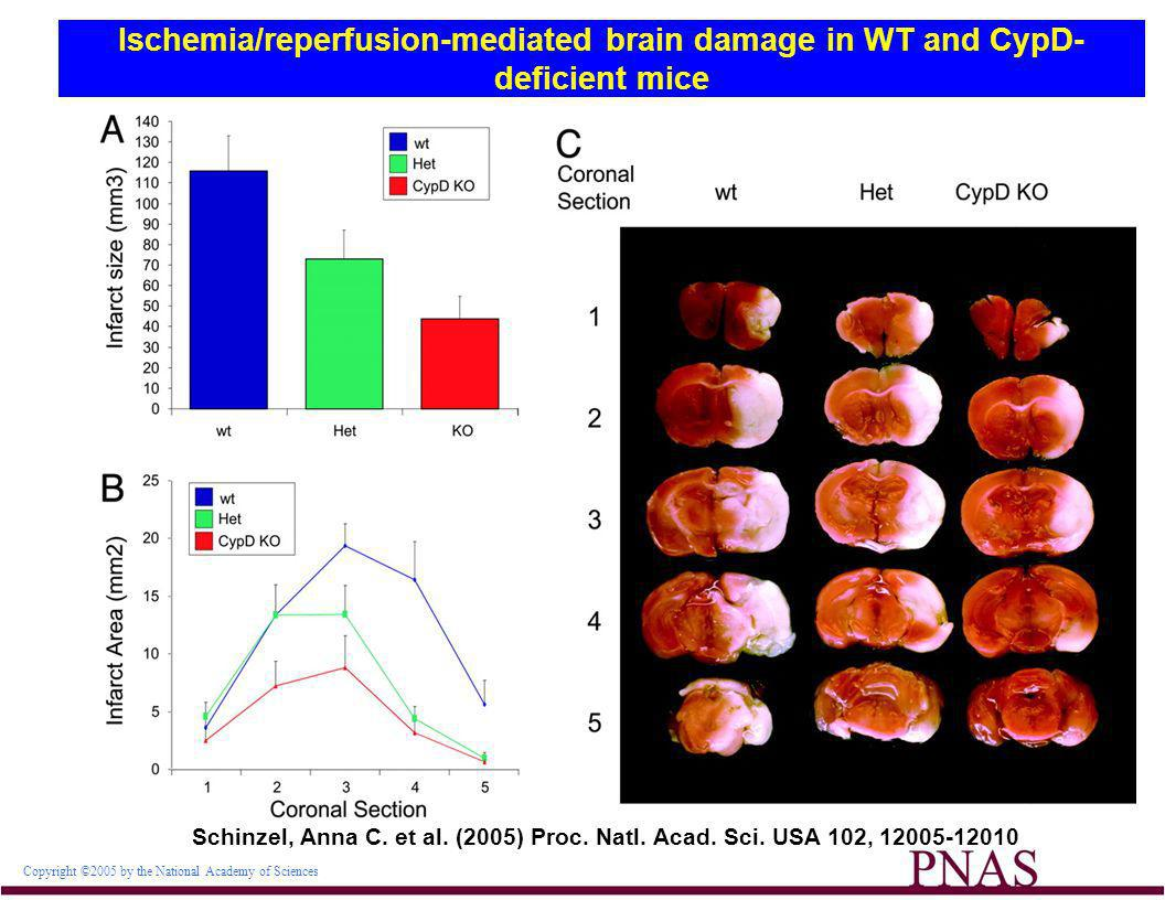 Ischemia/reperfusion-mediated brain damage in WT and CypD-deficient mice