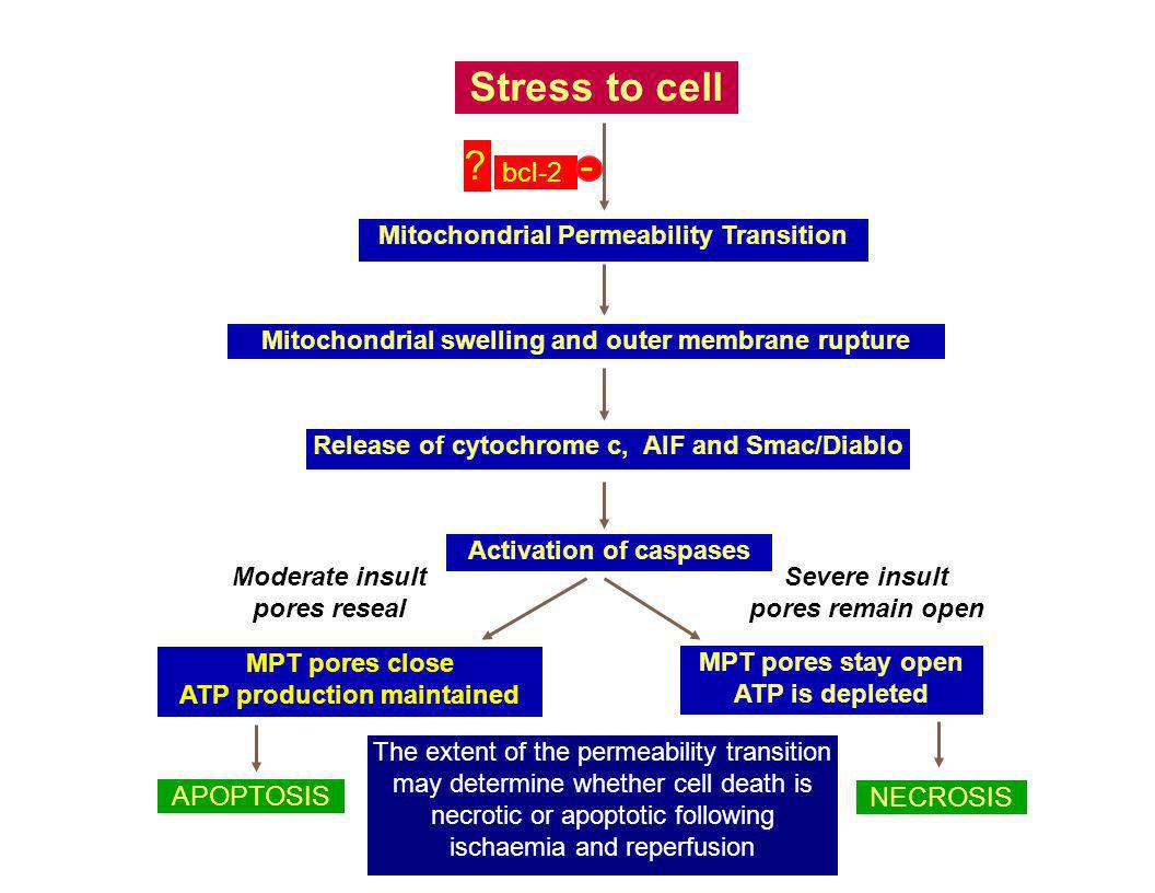 Stress to cell - bcl-2 APOPTOSIS NECROSIS