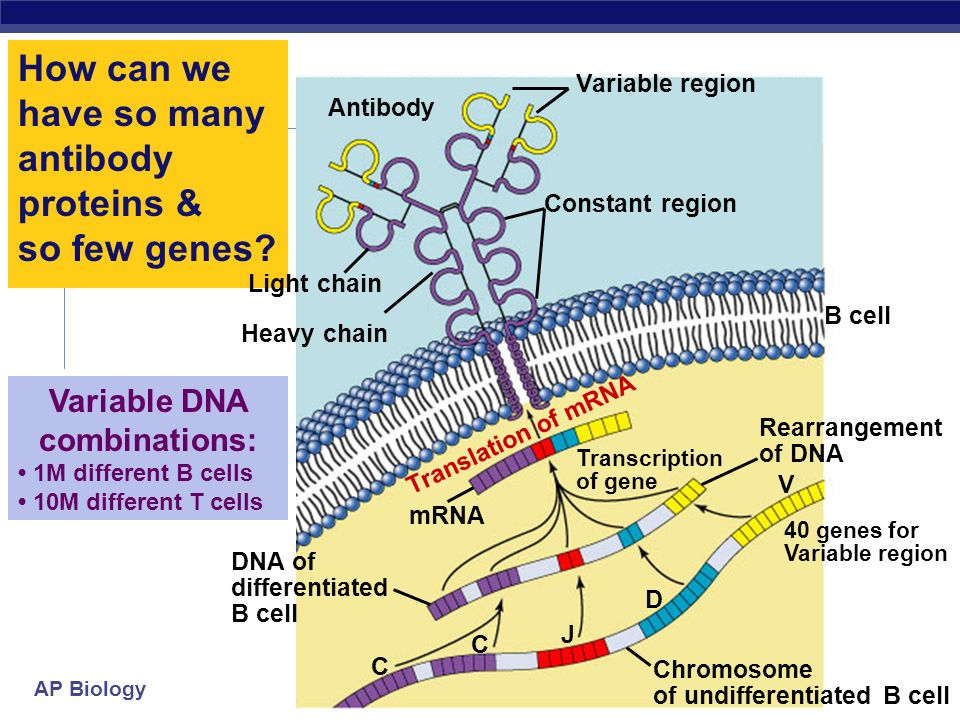 How can we have so many antibody proteins & so few genes