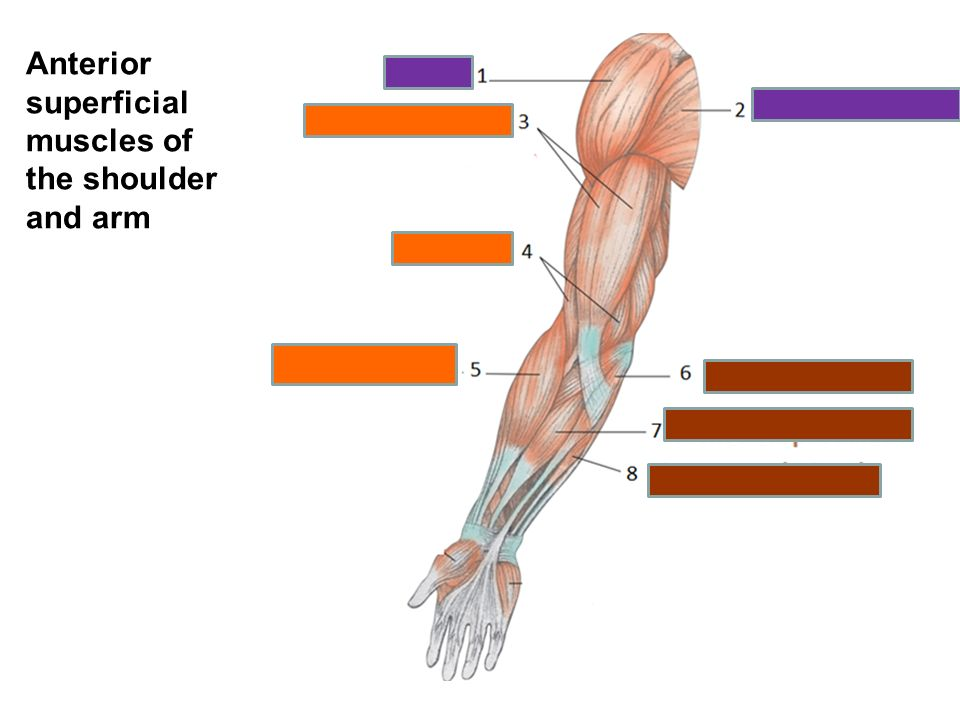 Arm Muscle Diagram Worksheet - Residential Electrical Symbols •