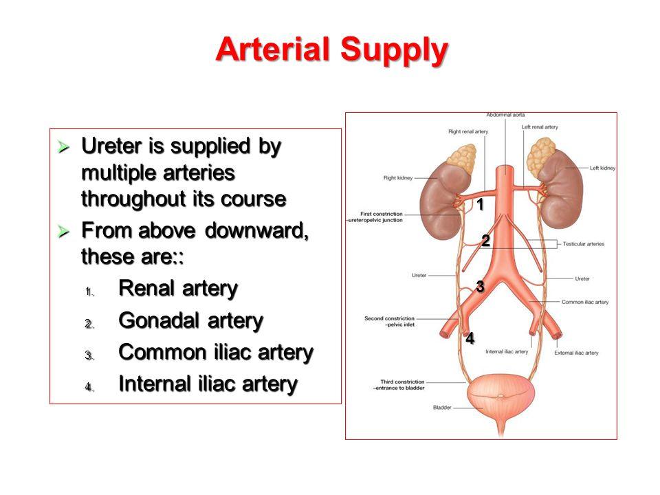 Ureters Urinary Bladder Urethra Ppt Video Online Download
