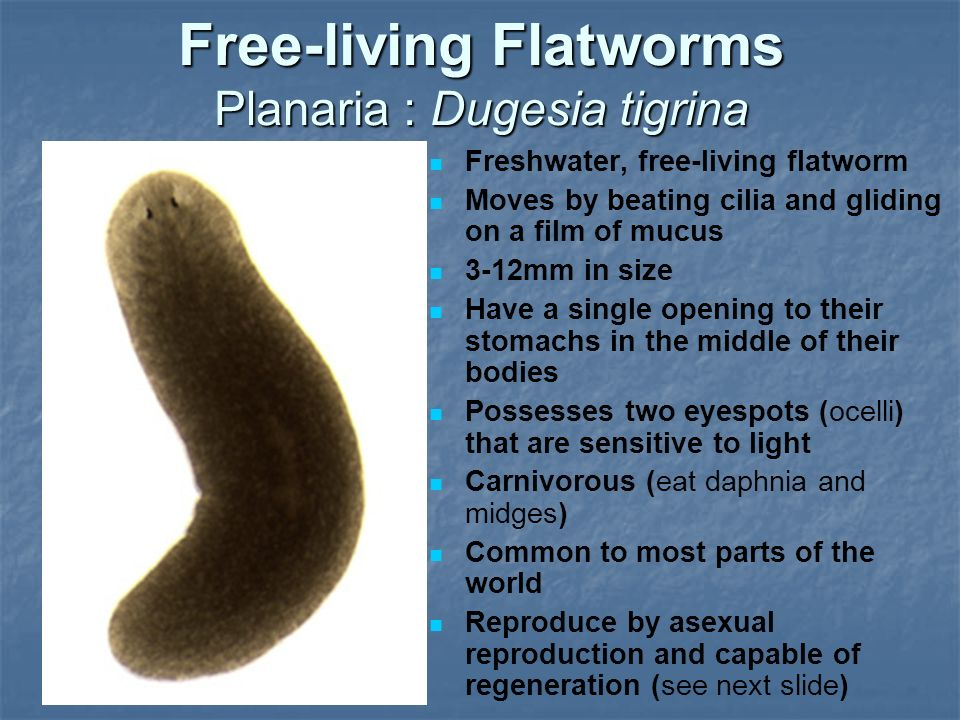 Flatworms Phylum Platyhelminthes Ppt Video Online Download