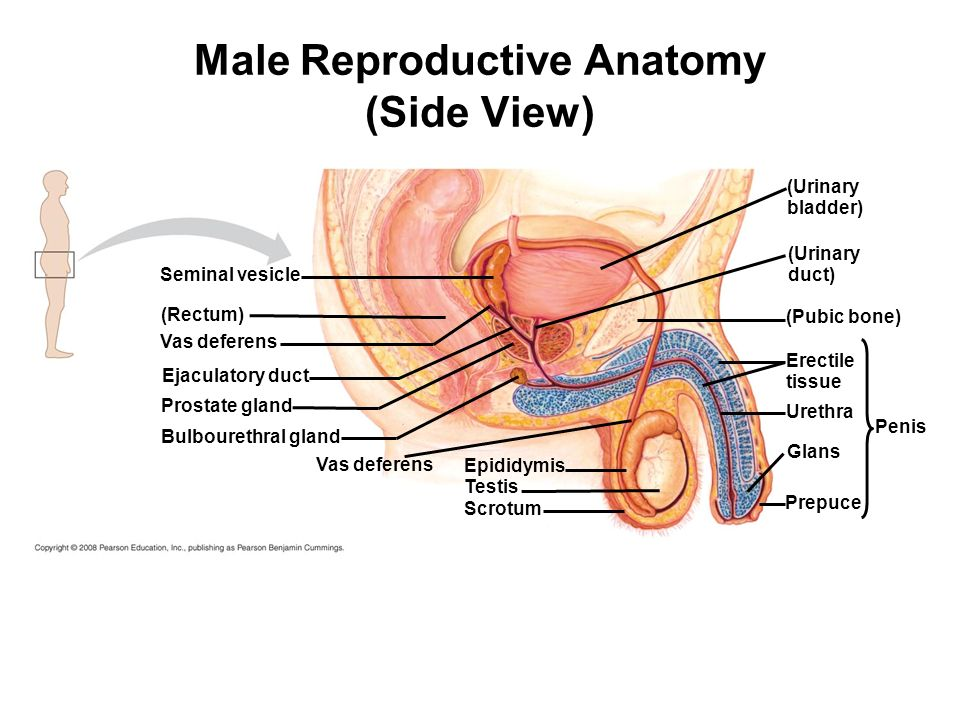 Male reproductive anatomy front view ppt video online download 2 male reproductive ccuart Choice Image