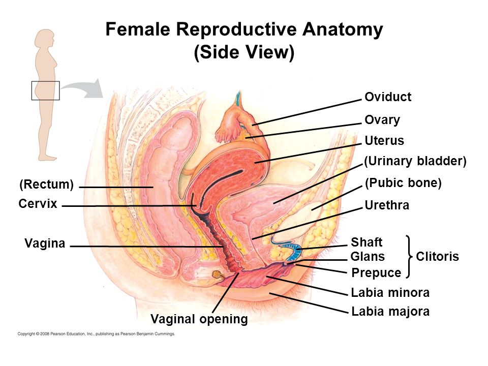 Male Reproductive Organs Diagram Back View And Side View - DIY ...