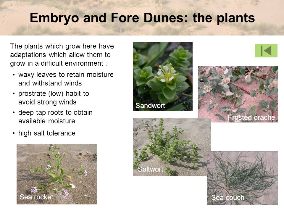 Embryo and Fore Dunes: the plants