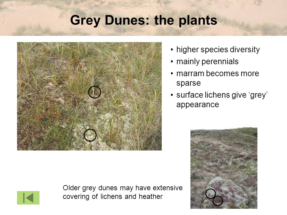 Grey Dunes: the plants • higher species diversity • mainly perennials