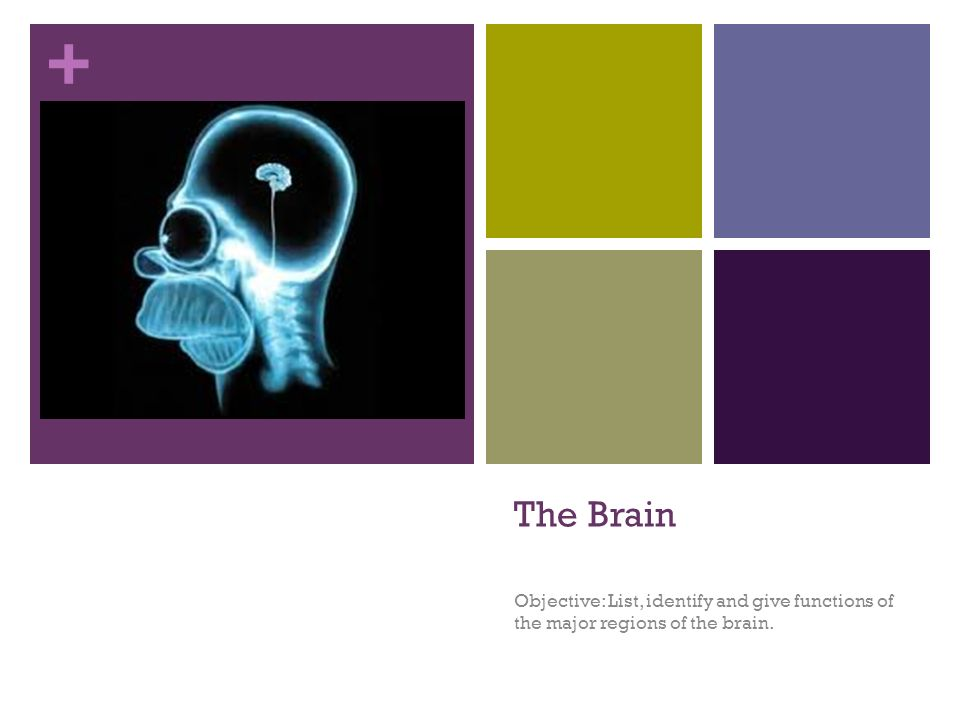 The Brain Objective: List, identify and give functions of the major regions of the brain.