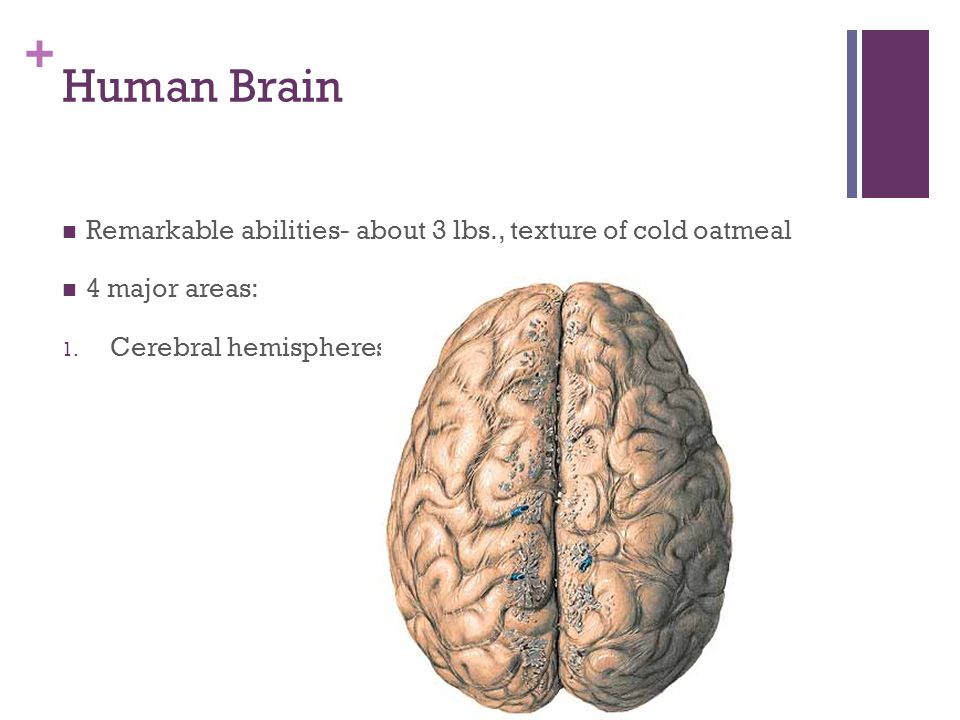 Human Brain Remarkable abilities- about 3 lbs., texture of cold oatmeal.