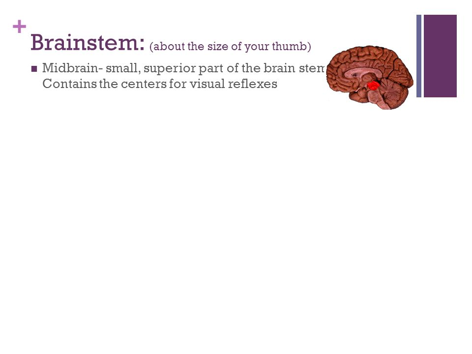Brainstem: (about the size of your thumb)